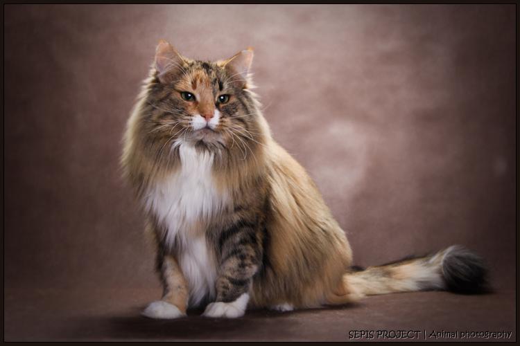 Koty Norweskie Leśne Hodowla Kiyokagpl Bracia Mniejsi